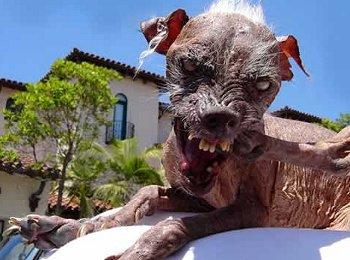 Der häßlichste Hund der Welt