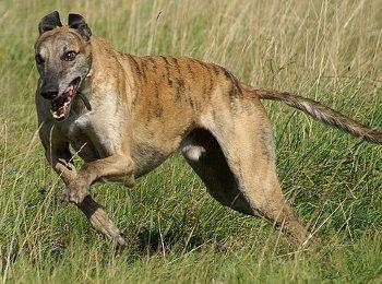 Der schnellste Hund der Welt