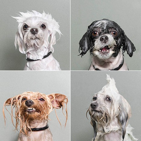 Sophie Gamand - Wet Dogs