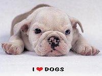 Englische Bulldoge - Ich liebe Hunde