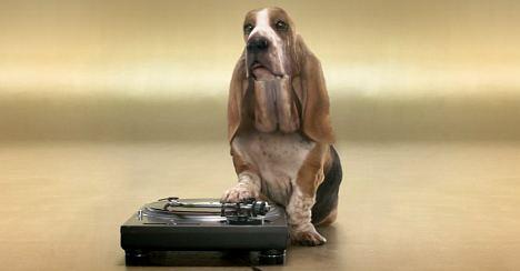 Hund am Plattenspieler: Beatbox Basset