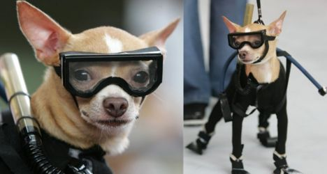 Sportlicher Chihuahua im Taucheranzug für den Hund