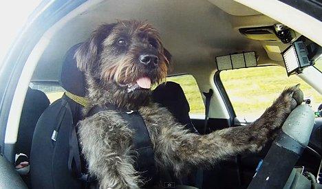 Driving Dogs - Hund fährt Auto