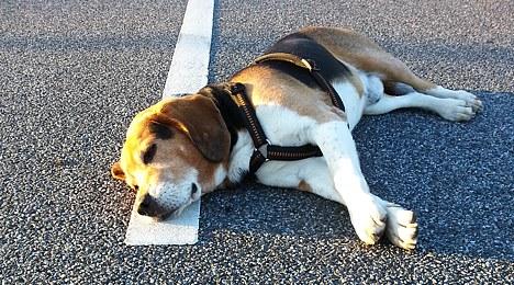 Da liegt ein Hund auf der Straße