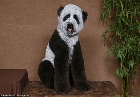 Panda Pudel