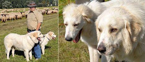 Pyrenäen-Berghunde in Sachsen
