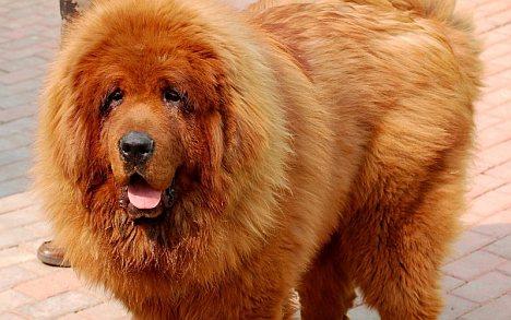 Der teuerste Hund der Welt